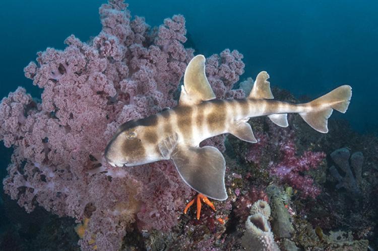 Shark Dives Of Japan S Southern Honshu X Ray Mag