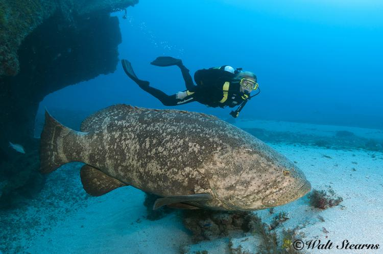 Atlantic Golaith Grouper