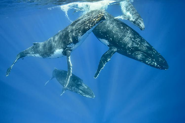Competitive group of male humpback whales. Photo by Don Silcock.