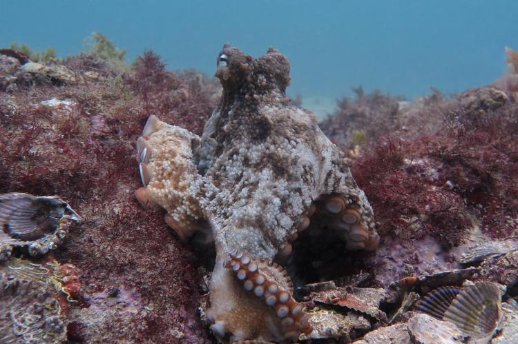 Gloomy octopus at Jervis Bay site.