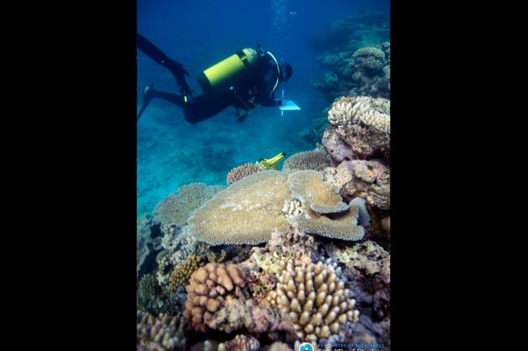 Dr Joleah Lamb doing a reef survey at the Great Barrier Reef, Australia.