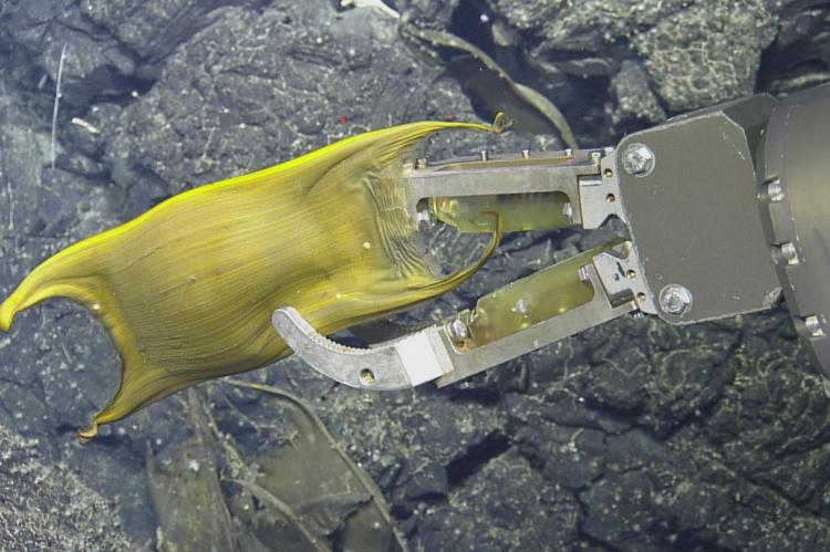 Skate egg case being recovered by ROV for analysis.