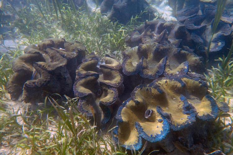 The Tridacna gigas, the world's largest giant clam species.