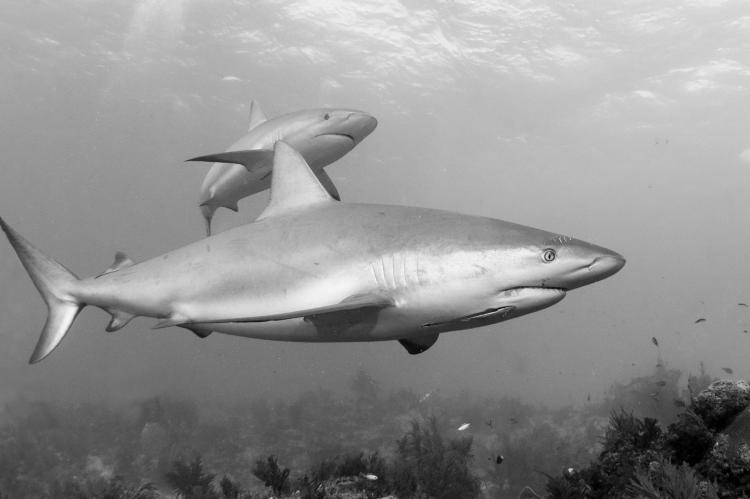 Reef sharks patrolling the reef... together