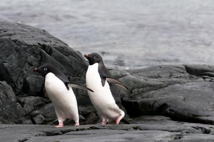 Adélie penguins rely on the krill being close to shore.