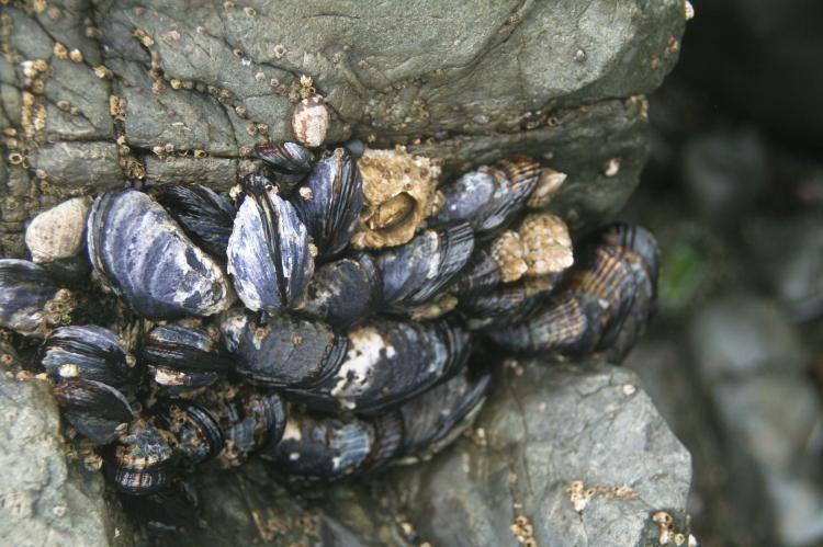 California mussels.