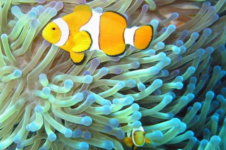 The common clownfish is a common resident at the Great Barrier Reef.