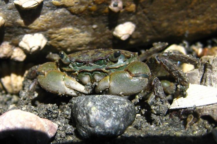 Oregon shore crab.