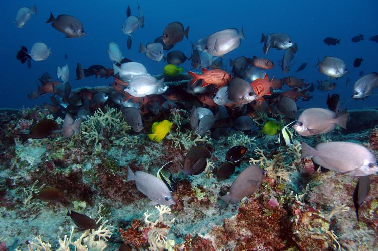 Fish at the Pearl and Hermes Atoll at Papahānaumokuākea Marine National Monument.
