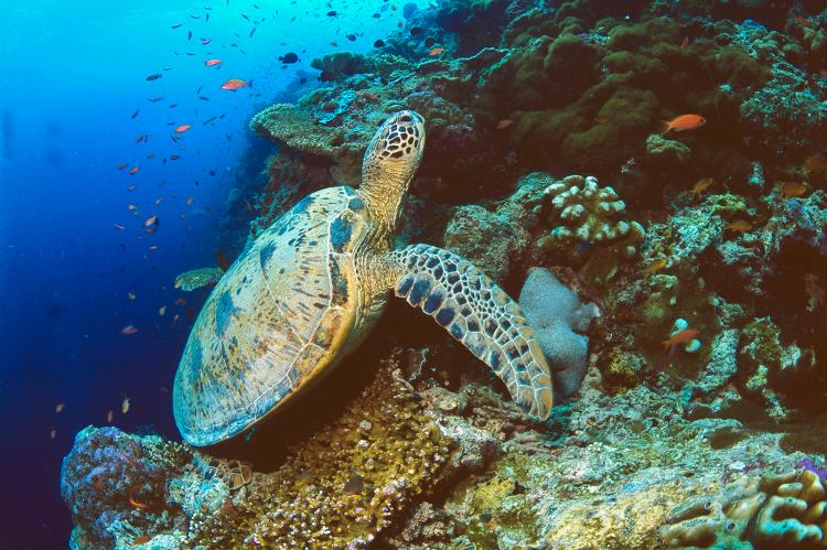 Green sea turtle.