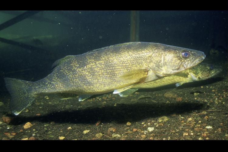 The walleye is one of the fish species involved in the study.