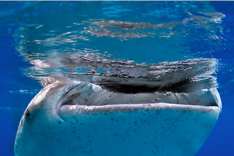 Whale Shark (unrelated file photo). Kenyan whale shark 'enclosure' gets slammed