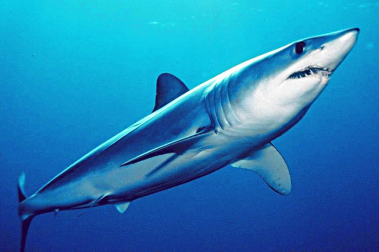 The Shortfin Mako Shark