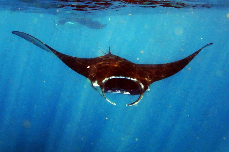 Cognition and Self Awareness in Manta Rays | X-Ray Mag