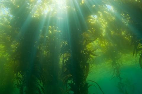 Californian Giant Kelp