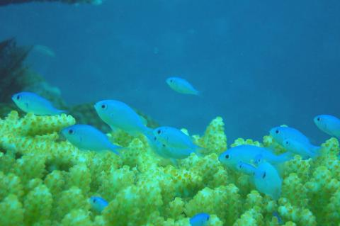 Damselfish.