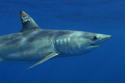 Tagged mako shark.