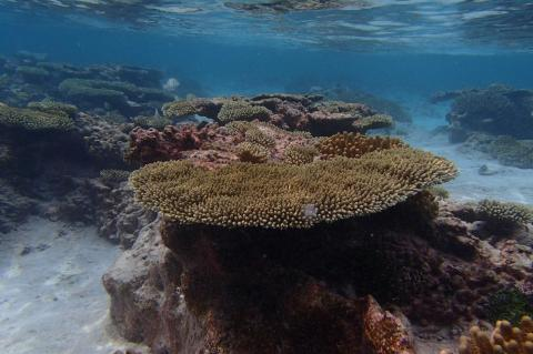 Tabletop coral in Cook Islands.