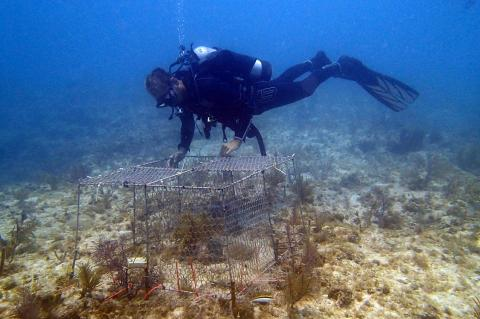 Andrew A Shantz places an enclosure over corals on the sea floor at Florida Keys.