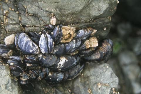 California mussels.