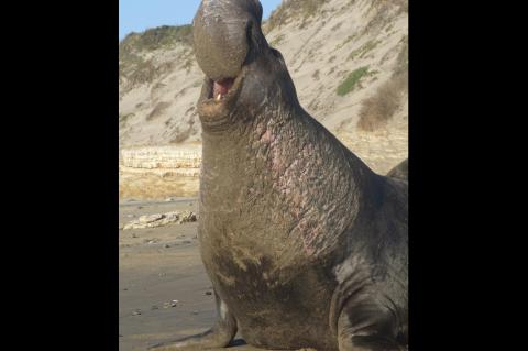 Elephant seal in San Mateo, California.