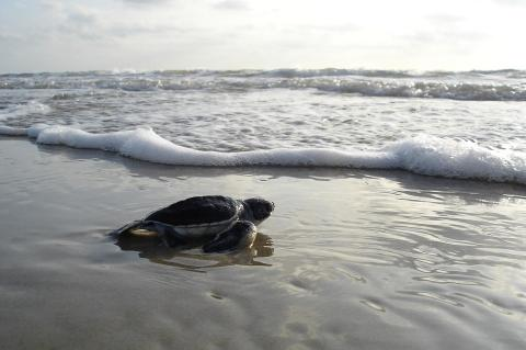 Will this turtle hatchling be able to find any suitors when it comes of age?
