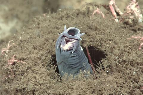 Hagfish protruding from a sponge.