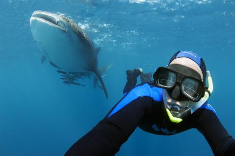 Snorkelling with whale sharks is one of the most popular activities for tourist divers.