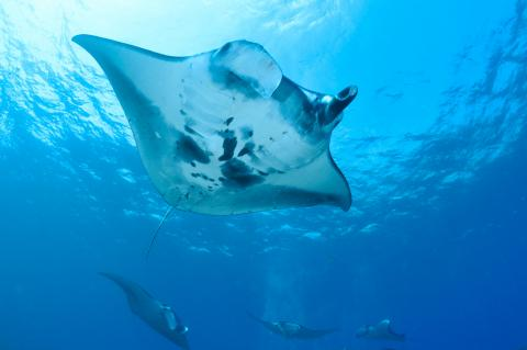 Stingrays - Winged Wonders of the Canary Islands   X-Ray Mag