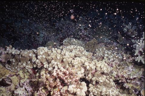 Coral larvae being released into the water column, off Maui in 2003