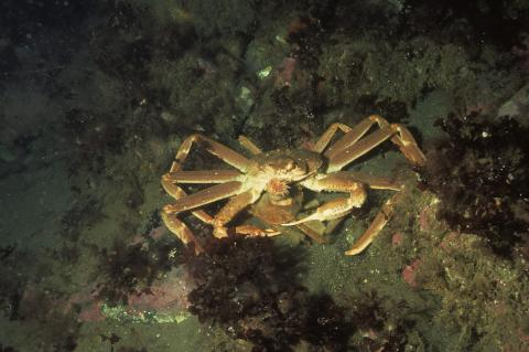 Two snow crabs in Bonne Bay, in Newfoundland, Canada.