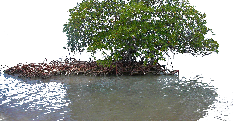 Mangroves - Nurseries of the Sea   X-Ray International ...
