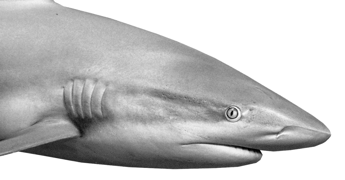 Reef shark inspects the diver