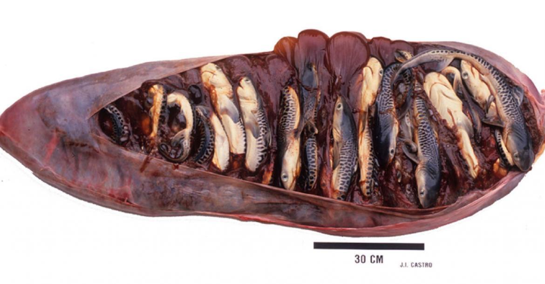 Tiger shark embryos in the uterus