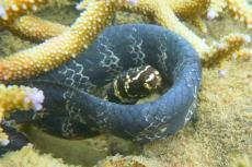 Turtle-headed sea snake.