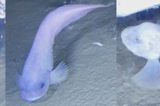 Footage of Atacama snailfish. Dr Alan Jamieson and Dr Thomas Linley (Newcastle University)