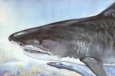 Painting of a Tiger Shark