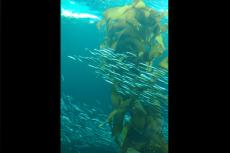 Schools of fish swimming past kelp forest in Monterey Bay, CA, US.