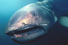 Tom Haight's portrait of a megamouth shark