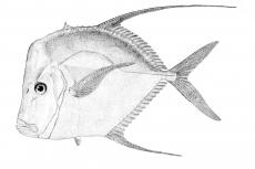 "The silver moonfish or ""look-down"", Selene vomer"