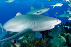 Socializing sharks