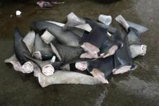 Shark fins.