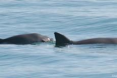 Critically endangered vaquita porpoise