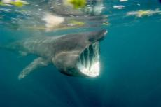 Basking shark off Cornwall, UK