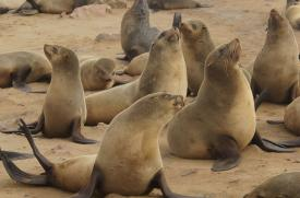 Colony of brown fur seals at Cape Cross on the Skeleton Coast, Namibia.