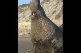 Elephant seal in San Mateo, California.