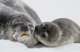 Young seal pup with mother.