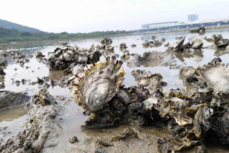 Close-up of oyster bed
