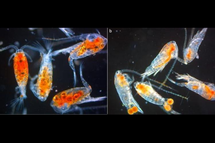 Copepods (<i>Leptodiaptomus minutus</i>) from Lake Simoncouche, (a) under the ice in winter (27 January 2017) and (b) in summer (18 September 2017).