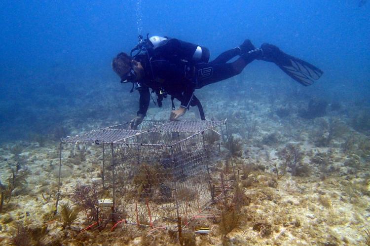 Andrew A Shantz places an enclosure over corals on the sea floor at Florida Keys.
